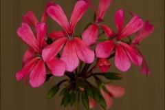 dresden-pink-20120717-015