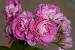 australe-pink-20120718-015